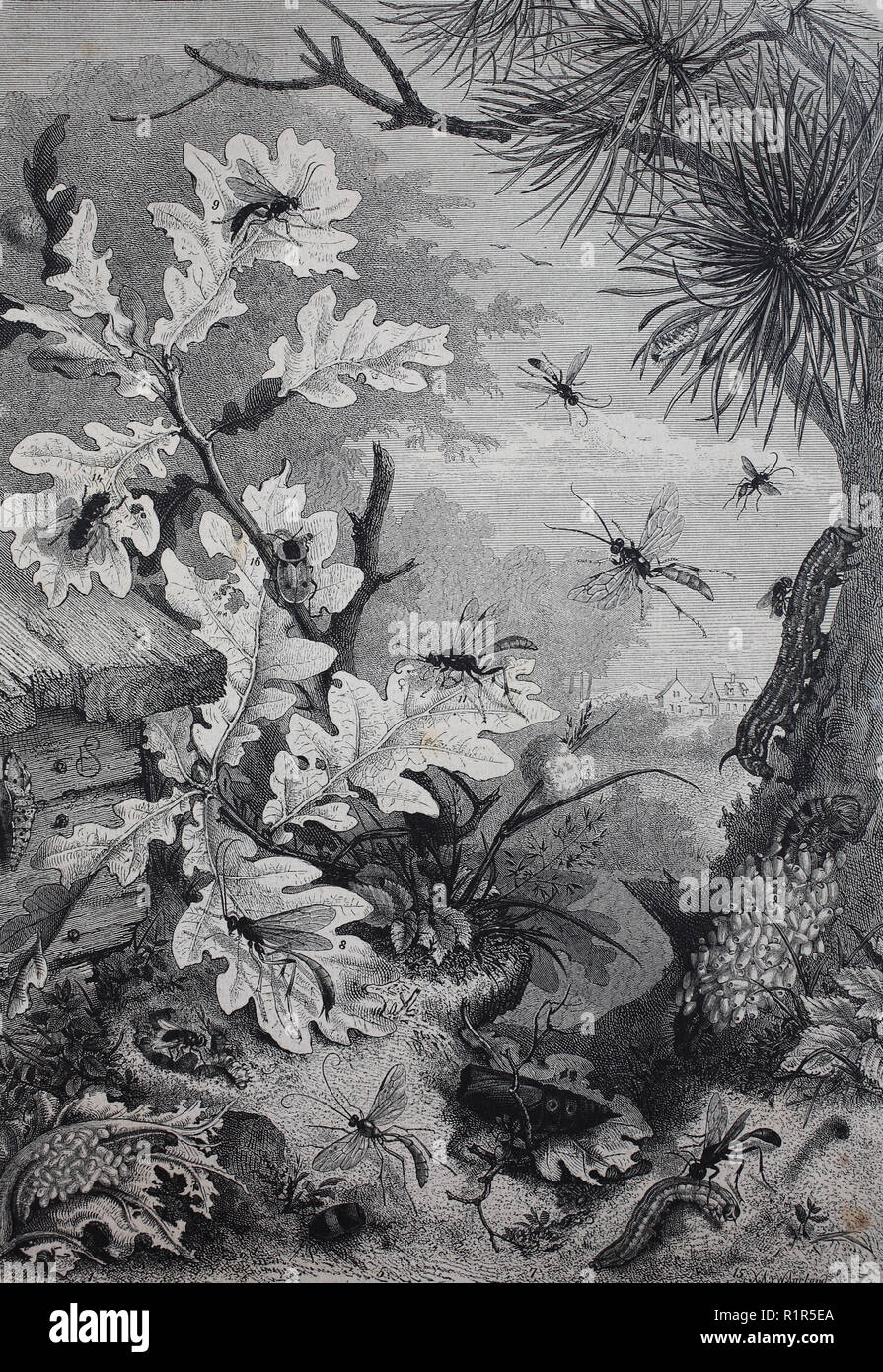 Digital improved reproduction, Caterpillars destroy insects on an oak, original print from the year 1880 - Stock Image