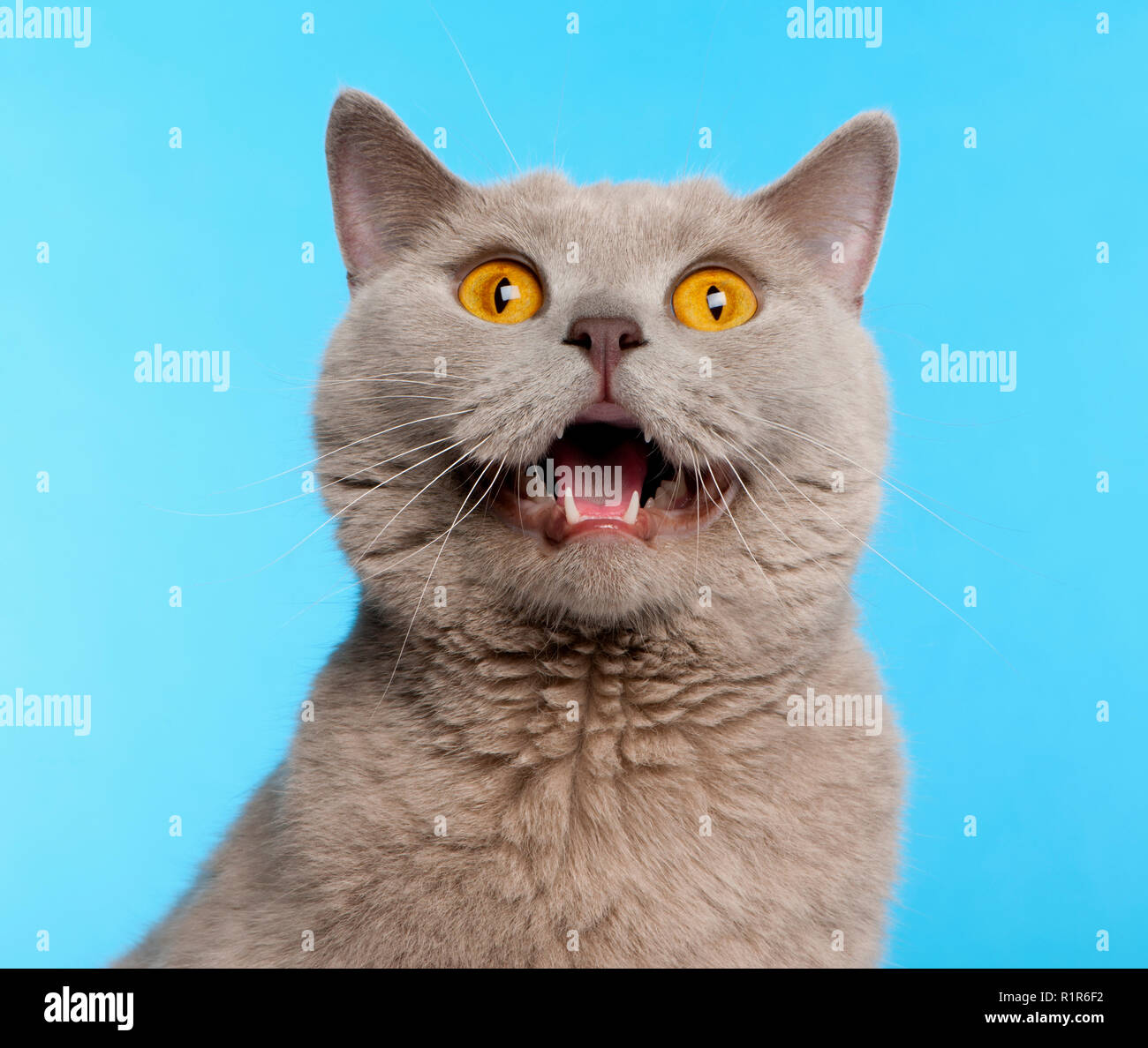 British Shorthair cat, 2 years old, in front of blue background - Stock Image