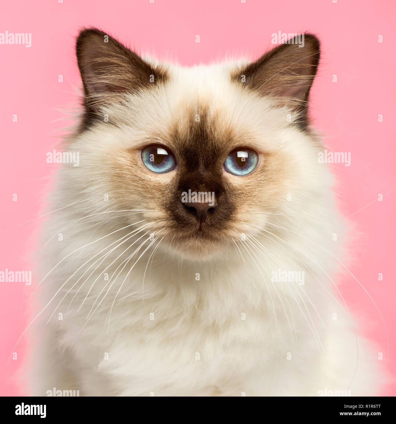 Close-up of a Birman kitten looking at the camera, 5 months old, on a pink background - Stock Image