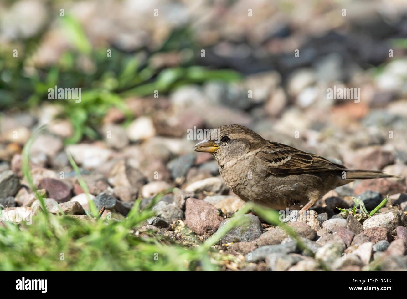 Left facing portrait  female house sparrow, Passer domesticus, sitting on pebbles Stock Photo
