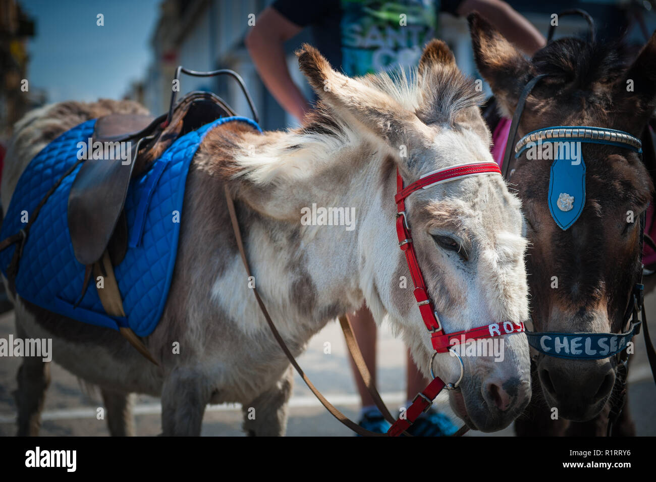 Two donkeys Rosie & Chelsea wait for passangers to give a ride to on the seafront. Stock Photo