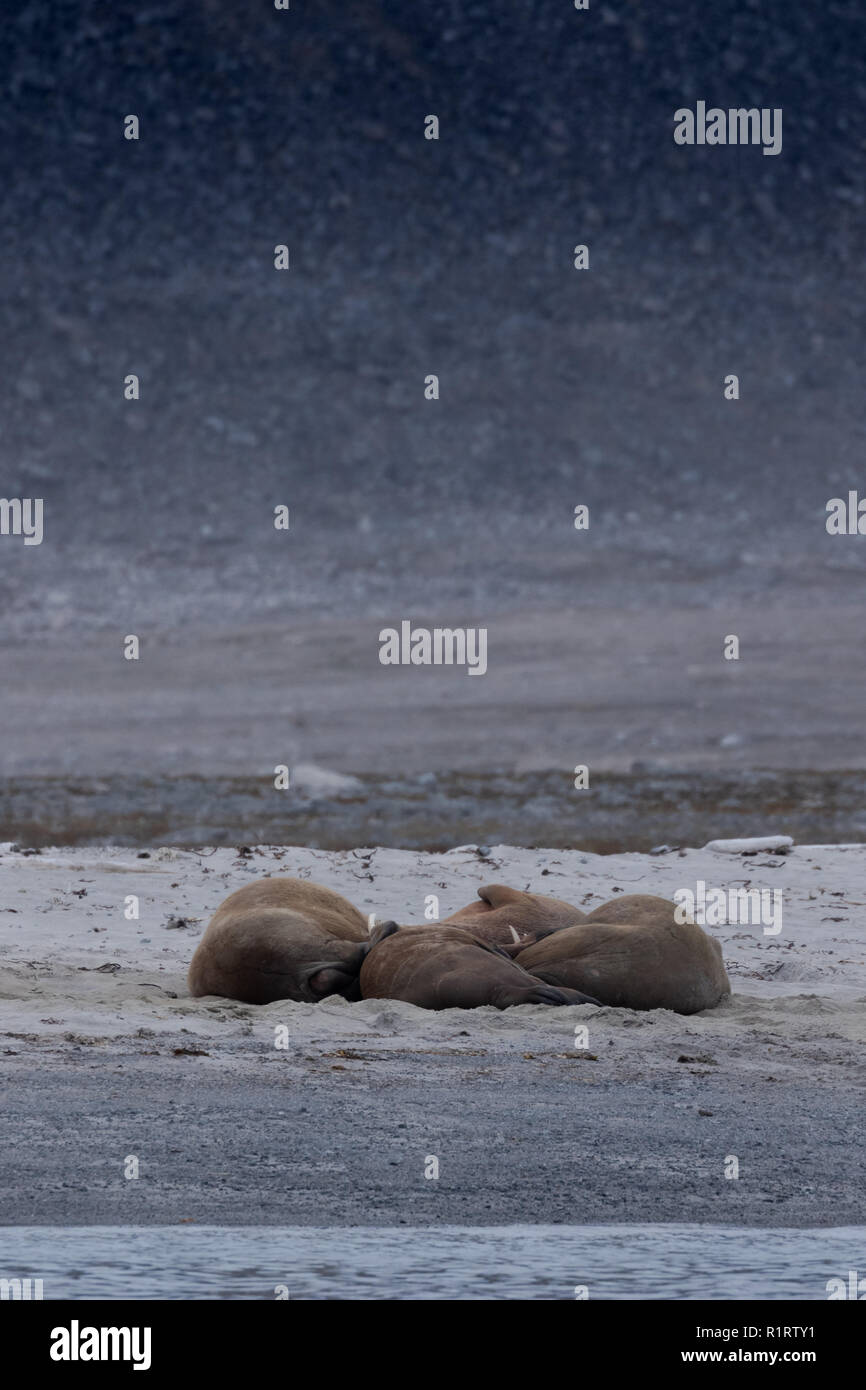 A huddle of male walrus (Obobenus rosmarus) resting during the summer on the shoreline at Svalbard in the Arctic - Stock Image