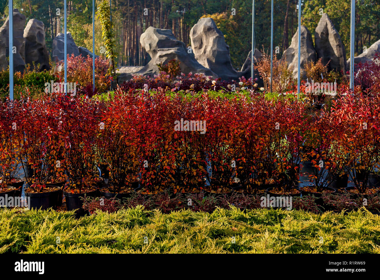 Seedlings of various trees in pots in a garden shop. Sale of many varieties of coniferous and deciduous trees, various flowers, all to decorate your - Stock Image