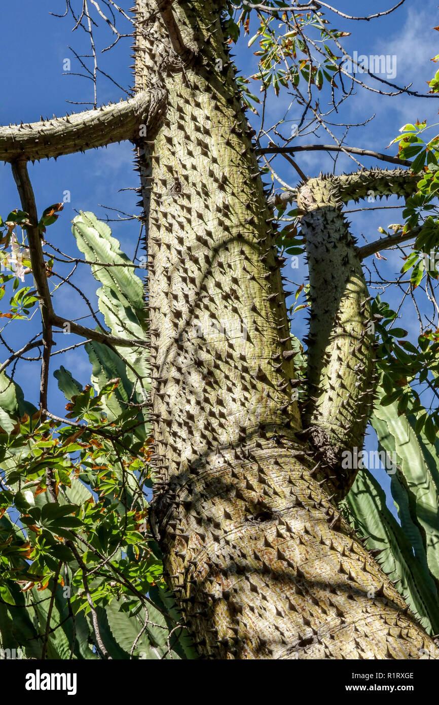 Silk floss tree Ceiba speciosa, trunk with spines, Elche garden, Spain - Stock Image
