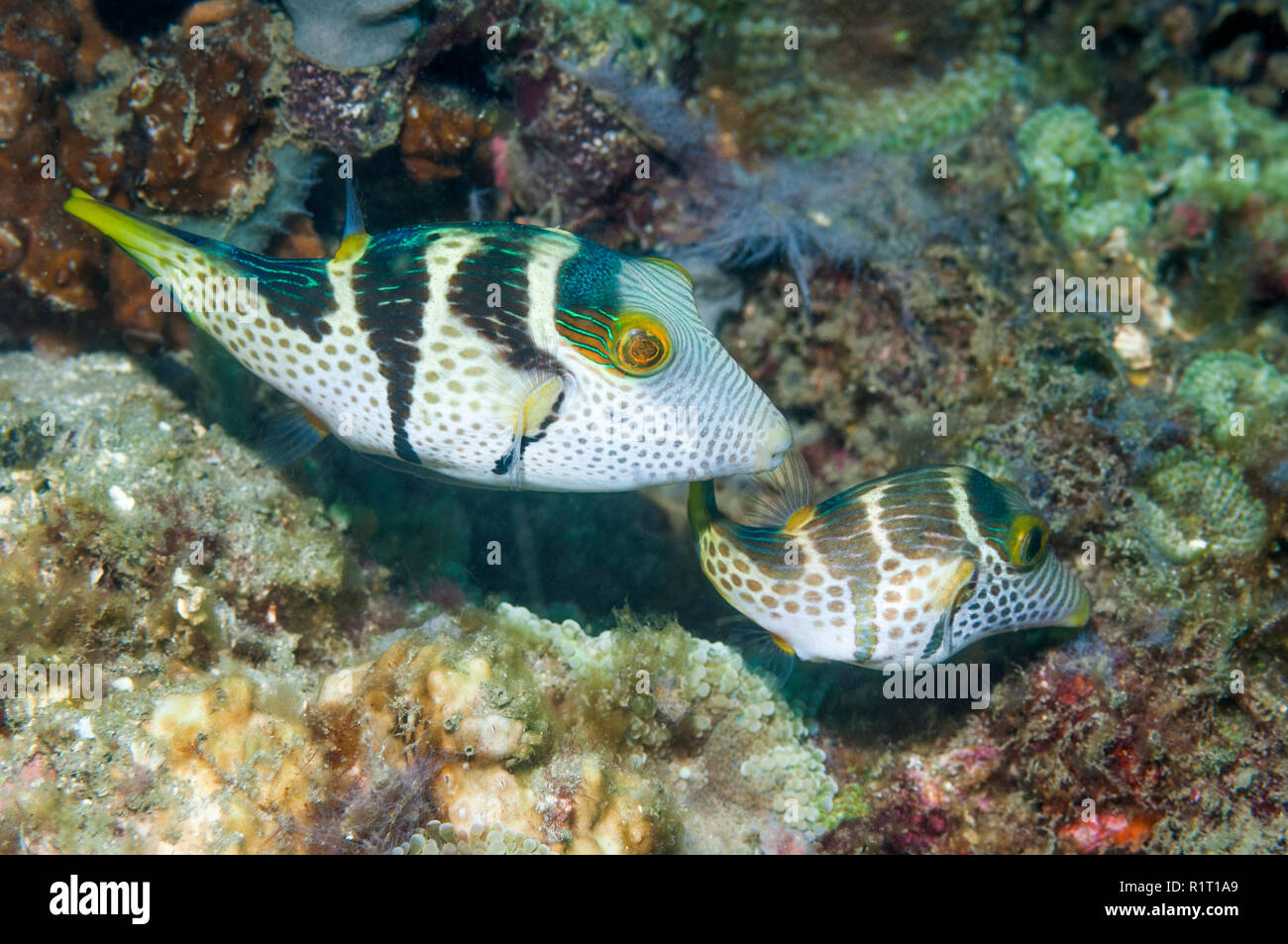 Black-saddled toby or Valentine's puffer [Canthigaster valentini].  Lembeh Strait, North Sulawesi, Indonesia.  Indo-West Pacific. Stock Photo