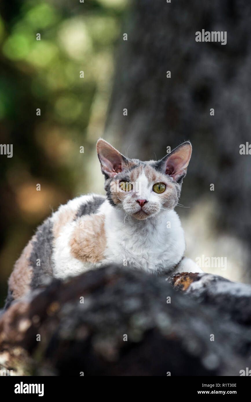 Devon Rex cat on a fallen log in the woods - Stock Image