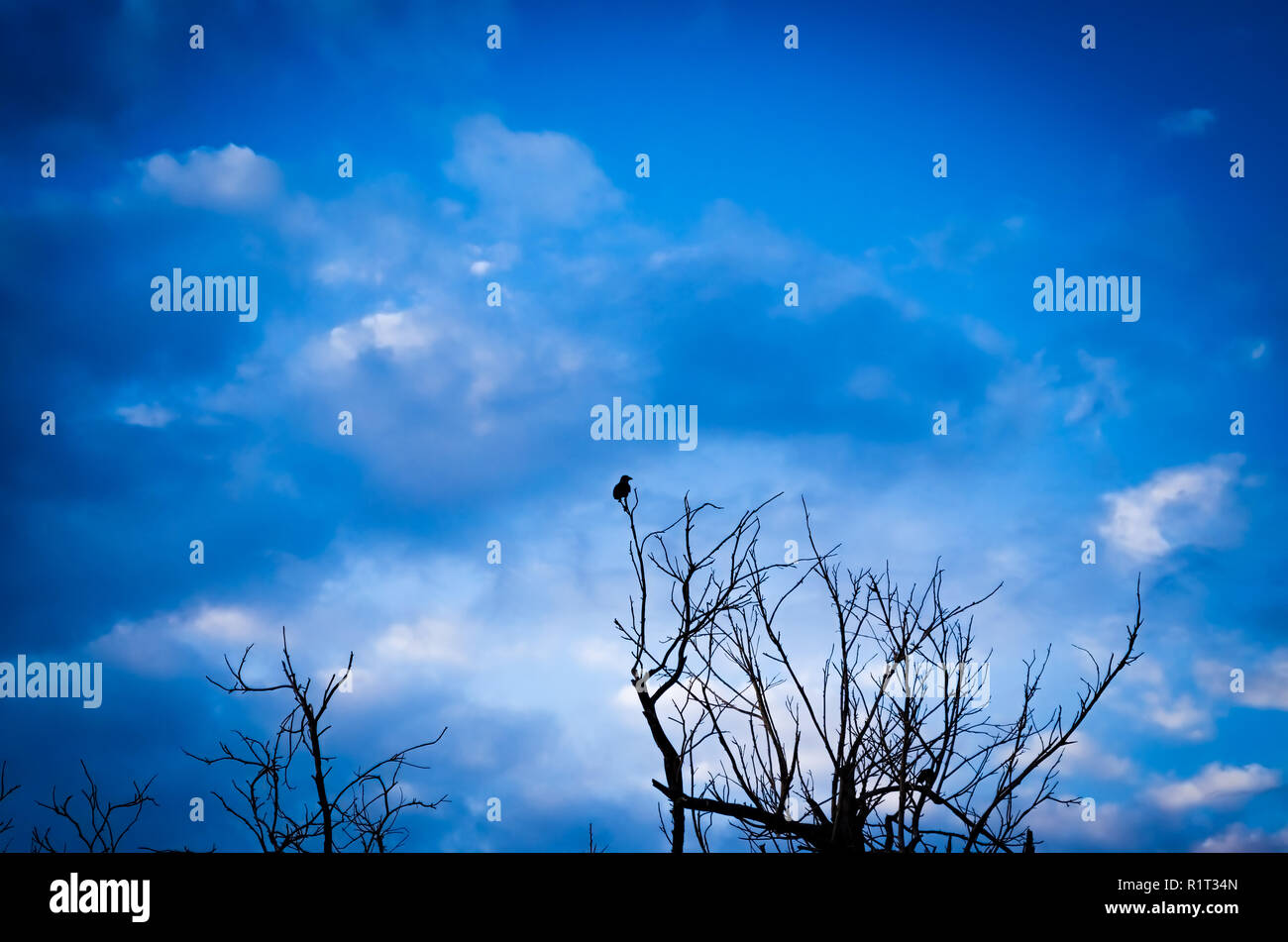 Silhouette of crow and barren tree. Blue sky with clouds in the background. - Stock Image