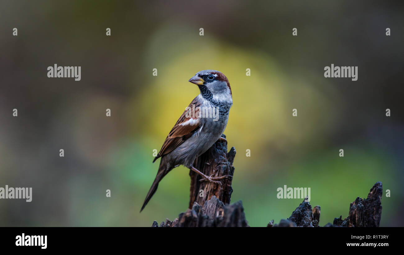 Mr House Sparrow on the tree stump with a nice yellow bokeh in the background Stock Photo
