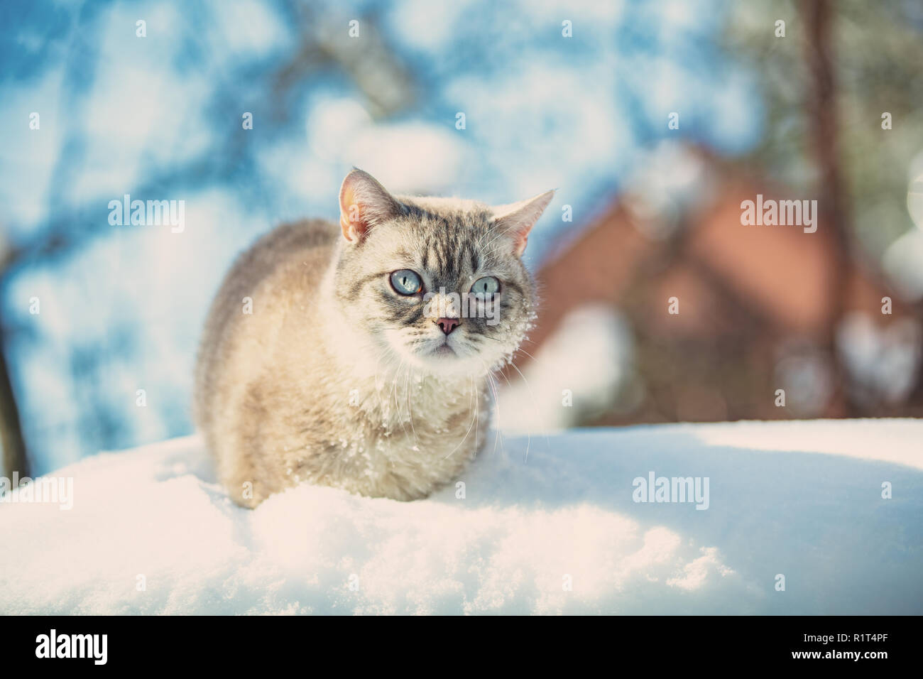 Cute Siamese cat walks in deep snow in the garden in the snowfall in winter - Stock Image