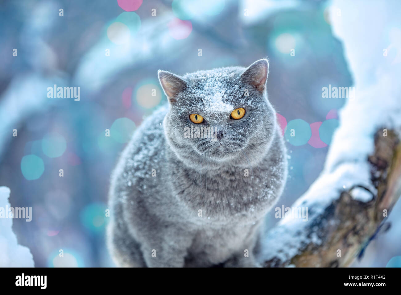 Cute British Shorthair cat sits on a tree in a garden in snowfall in winter - Stock Image