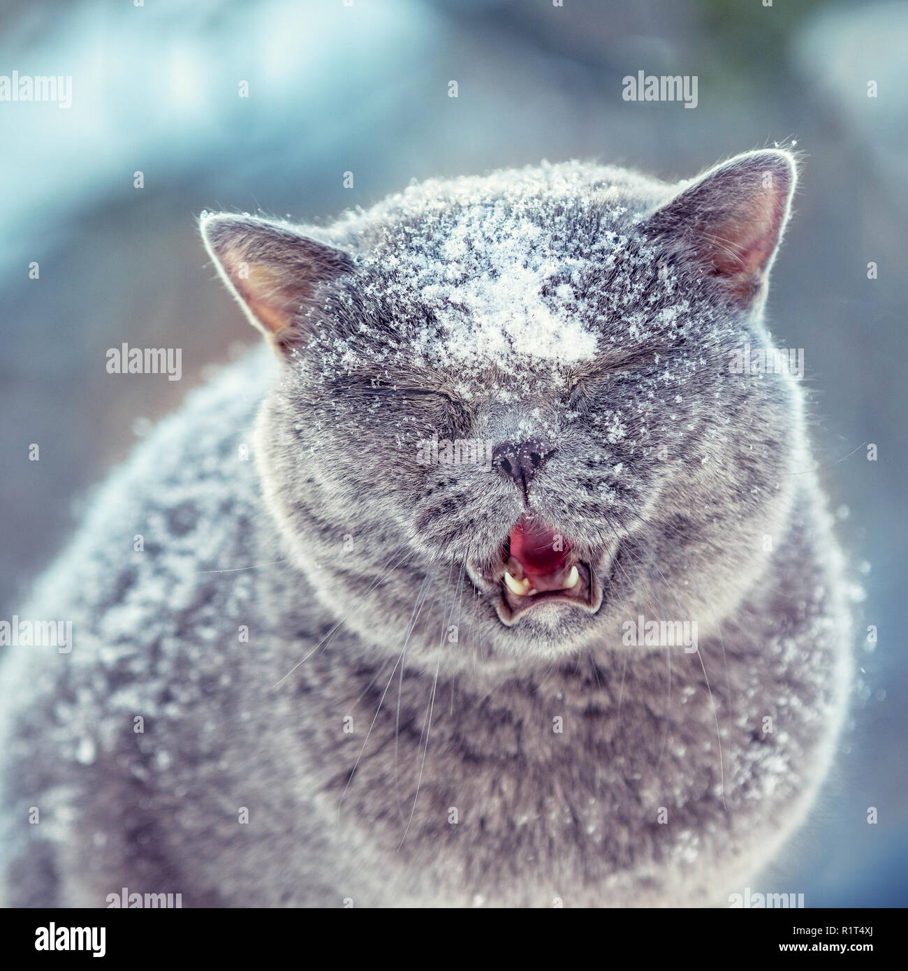Cute British Shorthair cat walks outdoors in the snowfall in winter - Stock Image