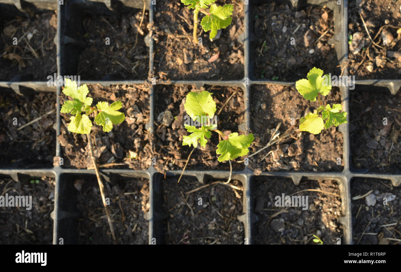 Stems of young plants in small square plastic pots - shot from above - Stock Image