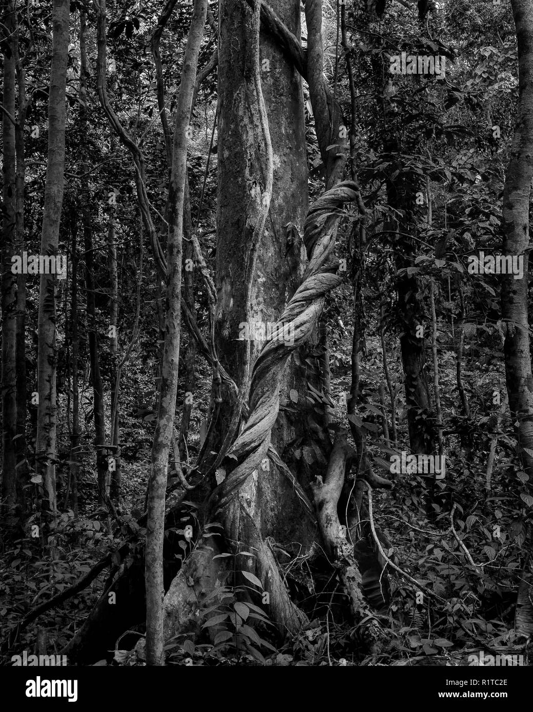 Black and white image of liana tree wrapping on another tree in the rainforest of malaysia