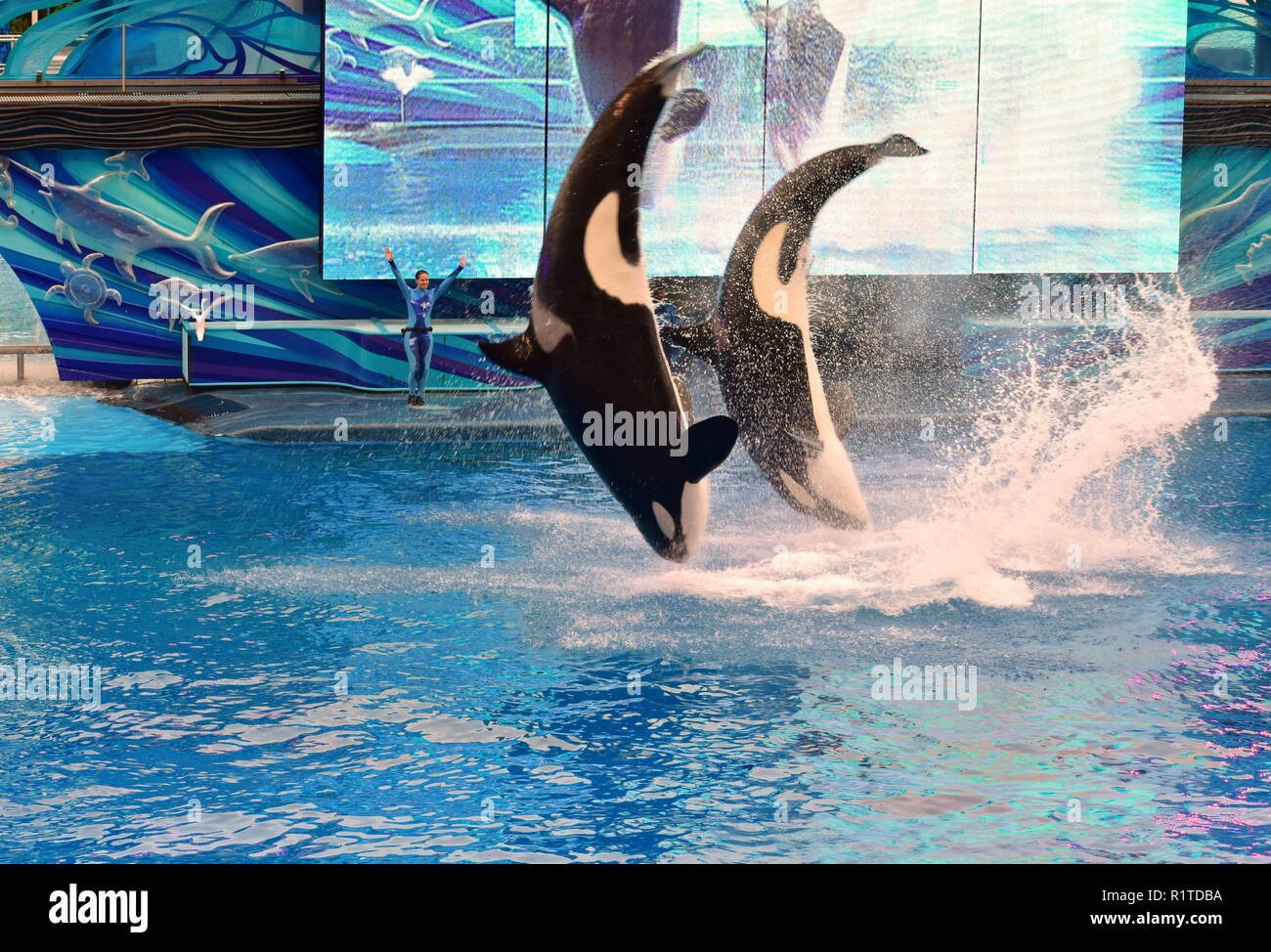 Orlando, Florida. September 09, 2018 Two whales jumping in One Ocean SeaWorld's signature killer whale. - Stock Image