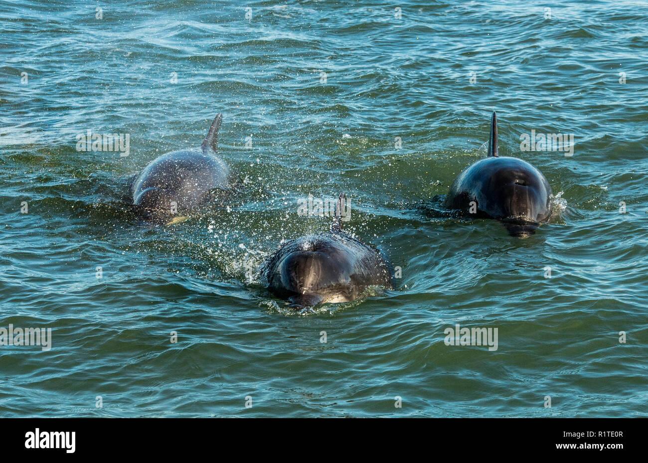 Aberdeen Bay Bottlenose Dolphins - Stock Image
