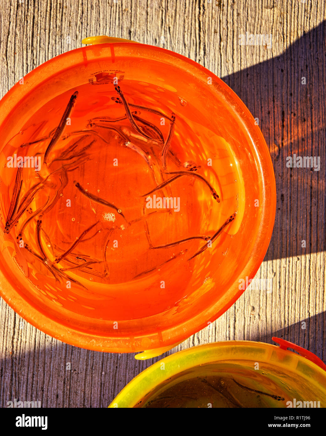 Orange bucket of fish a boy has caught with a net. - Stock Image