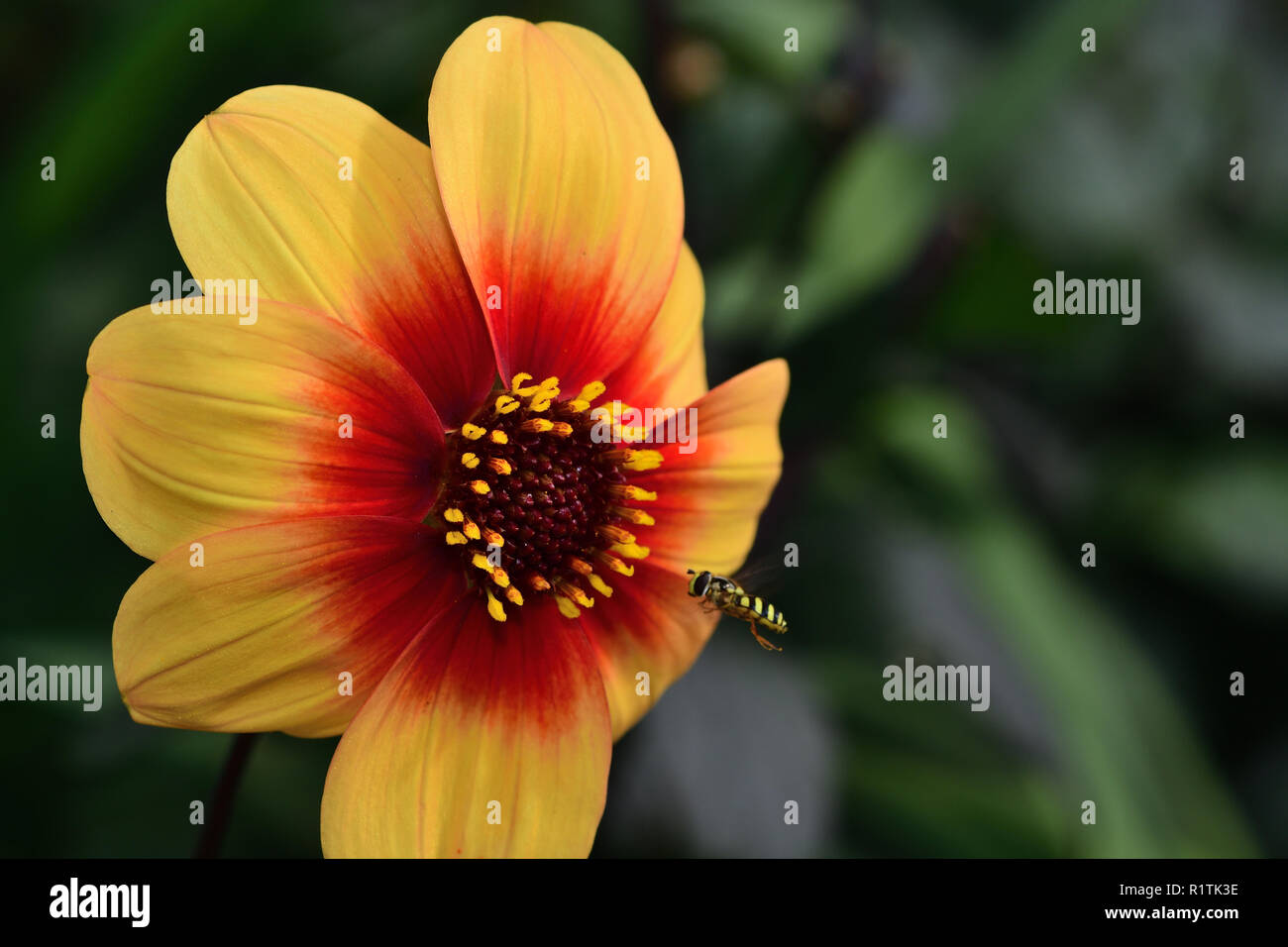 Close up of a dahlia moonfire flower in bloom - Stock Image