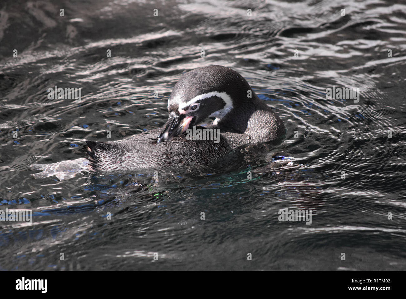 Cute gentoo penguin swimming in a pond - Stock Image