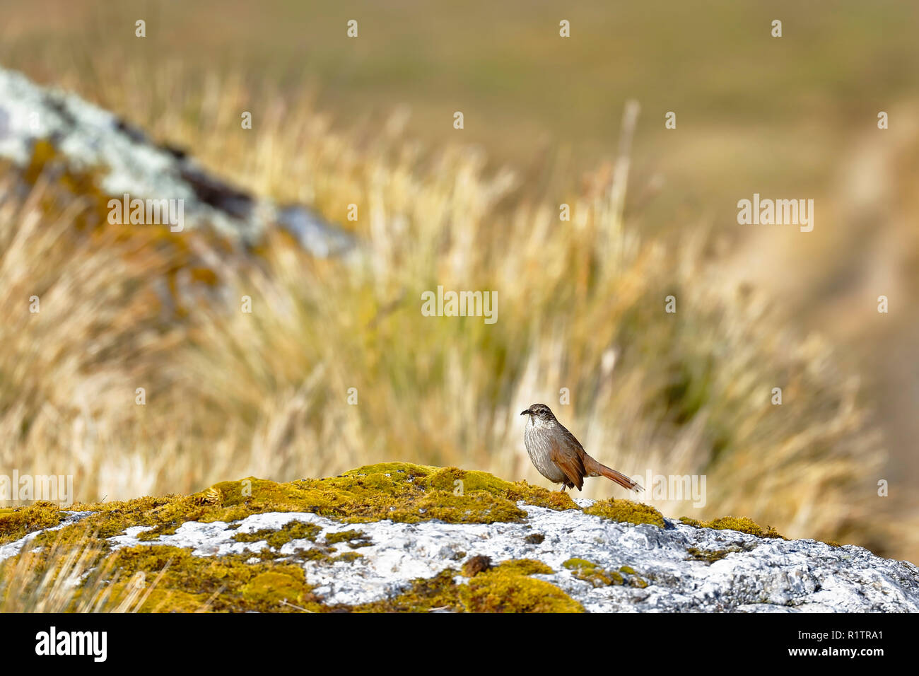 Curious specimen of a striated earthcreeper (Geocerthia serrana) perched on a rock in the skirts of the snowcapped cochas to more than 4000 msnm. Huan - Stock Image