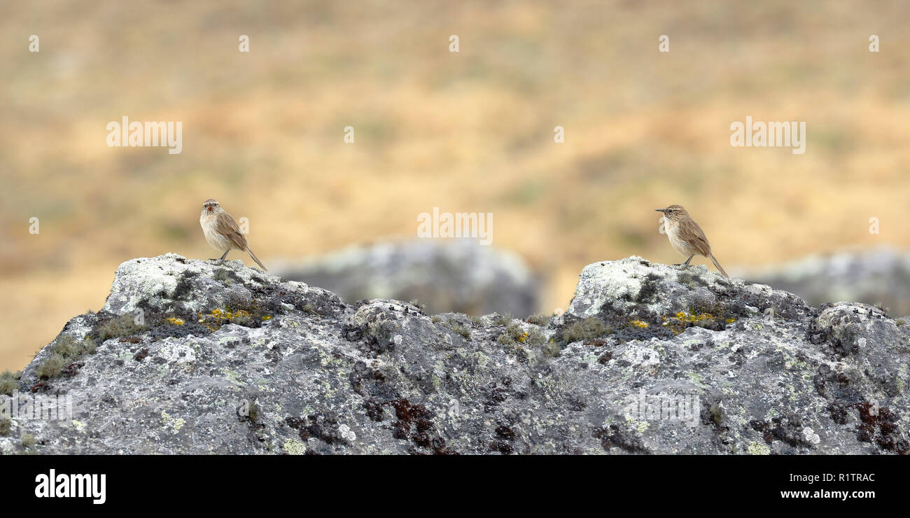 A small Streak-throated Canastero (Asthenes humilis) perched on a rock. - Stock Image