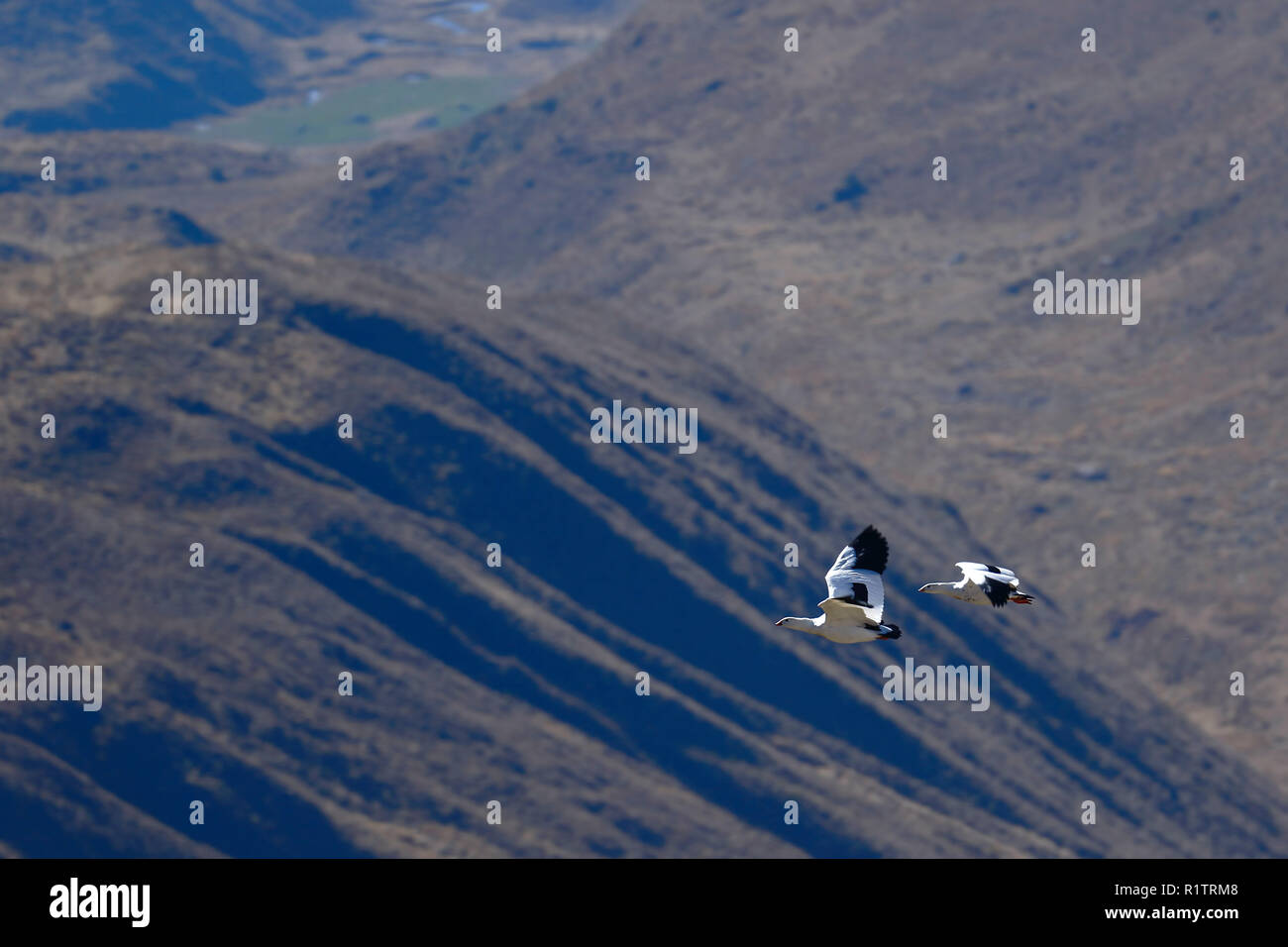 Pair of Andean goose (Chloephaga melanoptera) flying over the Andean mountain ranges, in their natural habitat. - Stock Image