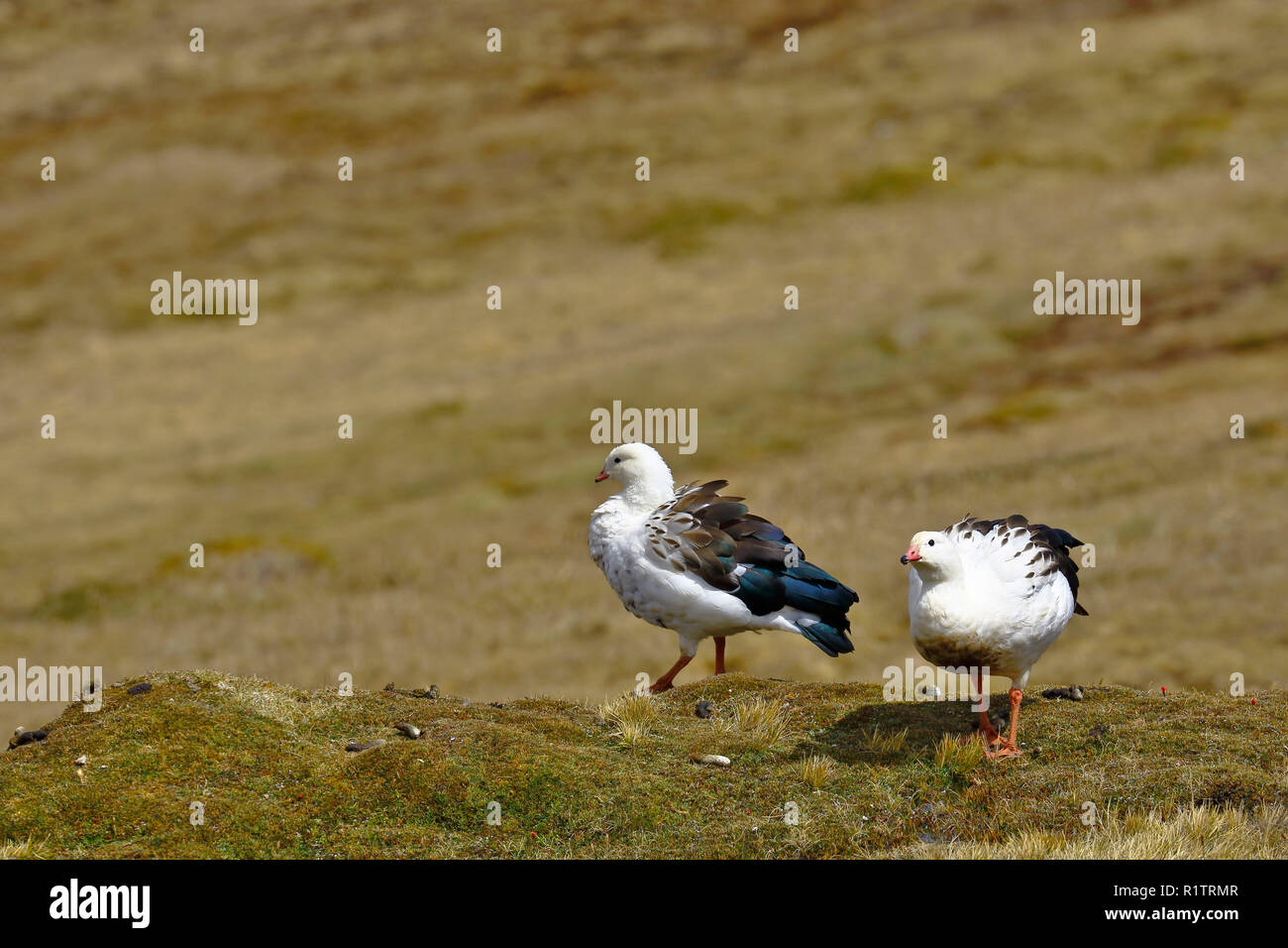 Pair of Andean goose (Chloephaga melanoptera) perched on the grassland in its natural environment in the puna. - Stock Image
