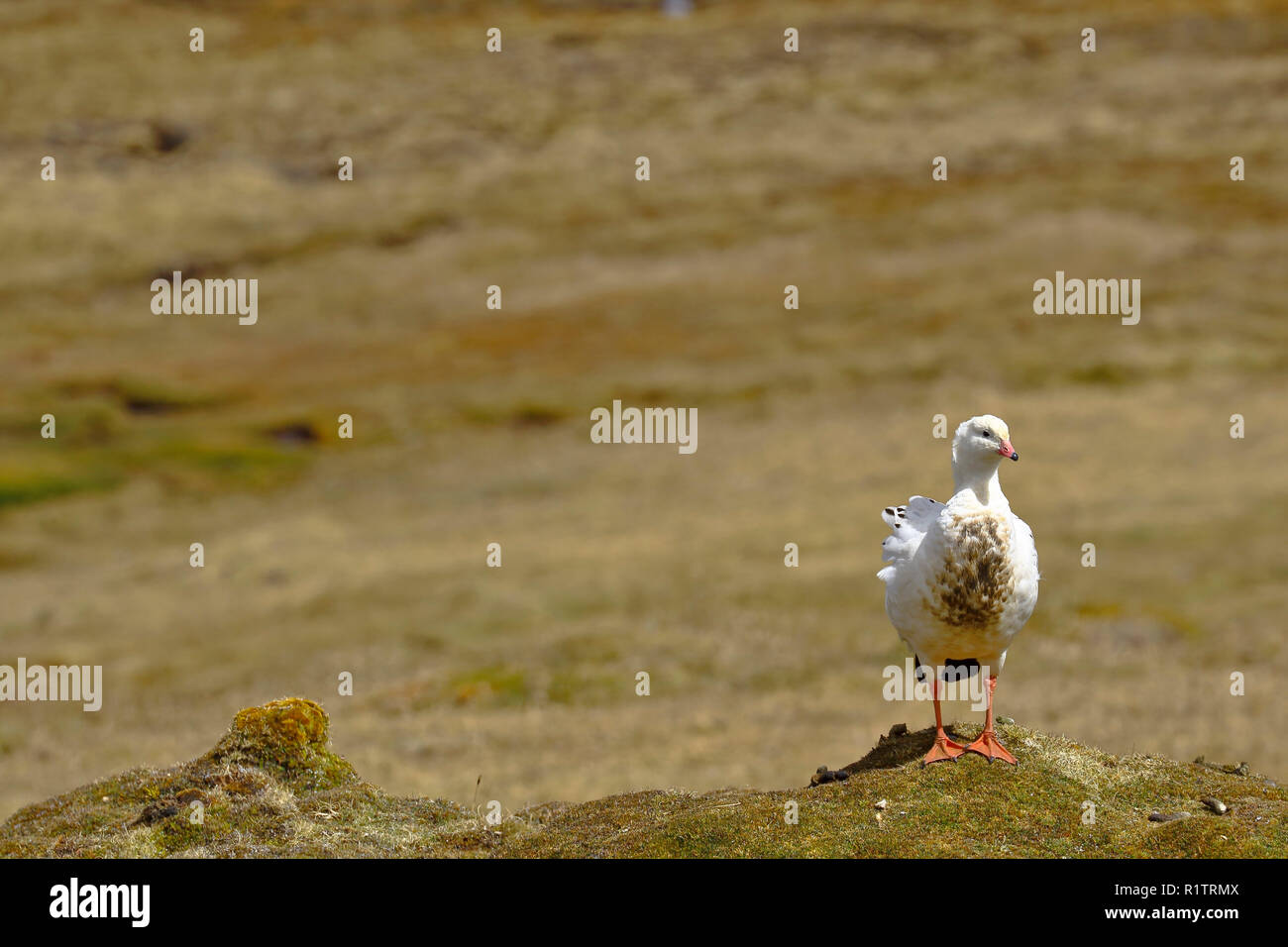 Andean goose (Chloephaga melanoptera) perched on the grassland in its natural environment in the puna. - Stock Image