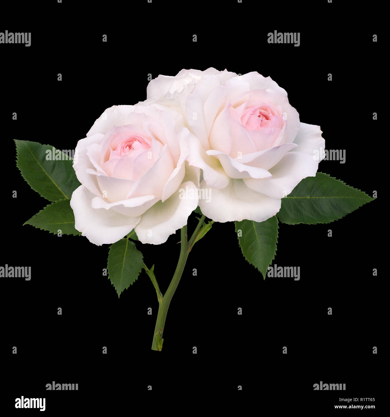 Pink rose flowers arrangement isolated on black - Stock Image