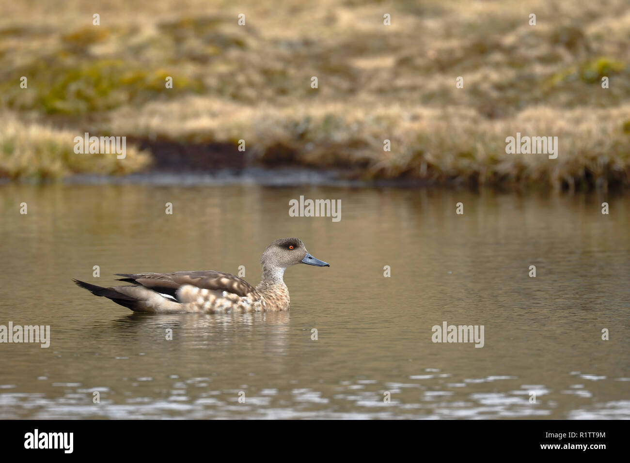 Crested duck (Lophonetta specularioides) sighted in its natural environment at 4000 masl while swimming calmly at dawn. - Stock Image