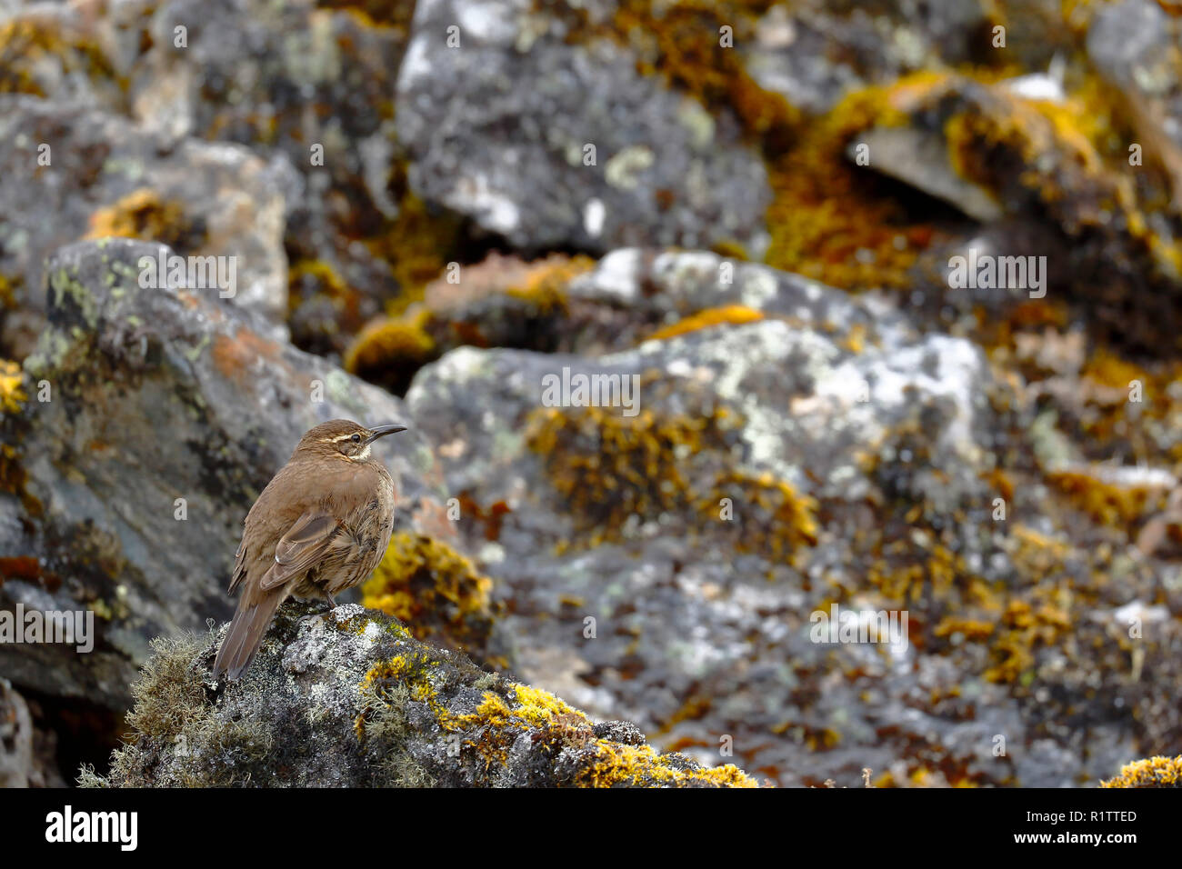 Beautiful specimen of Royal cinclodes (Cinclodes aricomae) that is in critical danger of extinction, perched on a rock in its natural environment. Hua - Stock Image