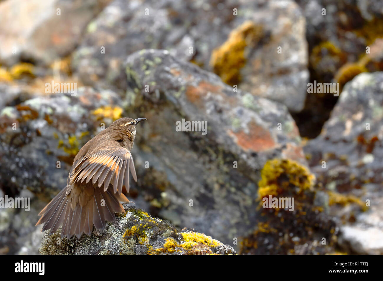 Beautiful specimen of Royal cinclodes (Cinclodes aricomae) that is in critical danger of extinction, perched on a rock stretching its wings in its nat - Stock Image