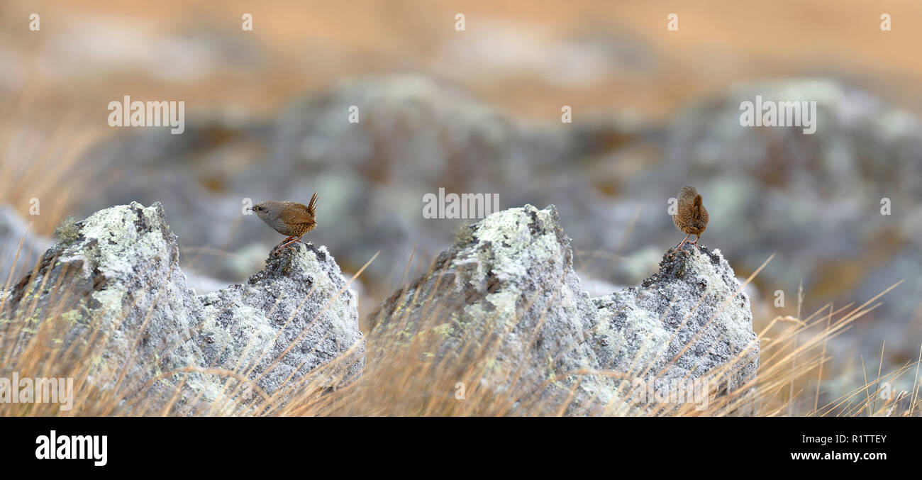 Beautiful copy of Tapaculos (Scytalopus sp.) (Millpo form not described) perched on a rock in its natural environment. Huancayo - Peru. - Stock Image