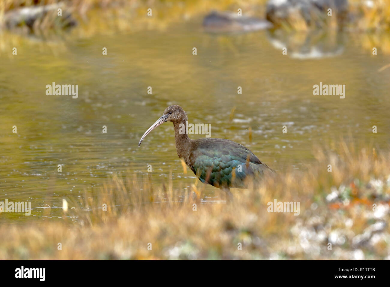 Beautiful specimen of puna ibis (Plegadis ridgwayi) feeding on an Andean lagoon. Huancayo - Peru. - Stock Image