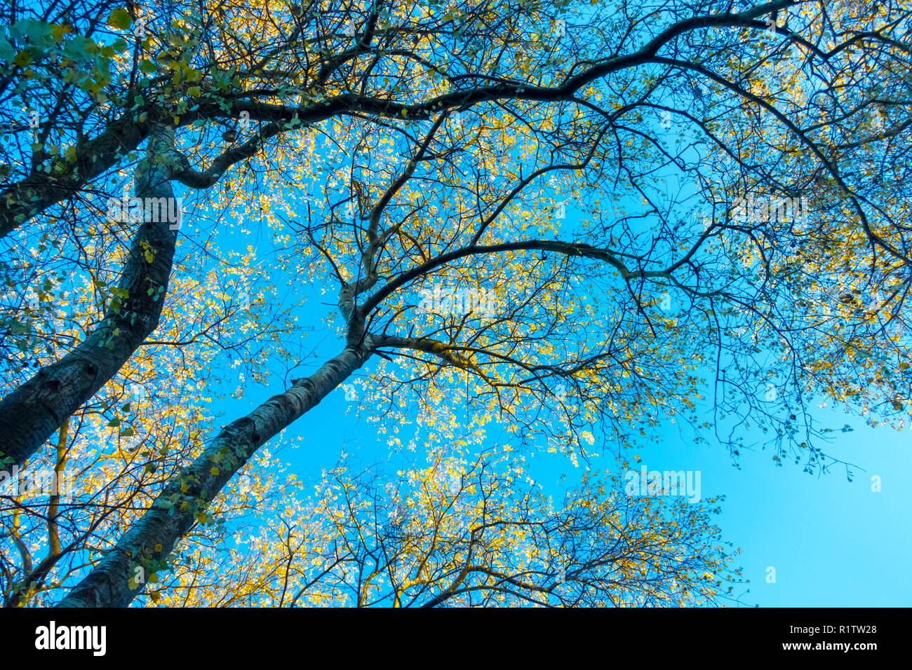 looking up at trees with golden yellow leaves against a bright blue sky. Consett, County Durham, UK - Stock Image
