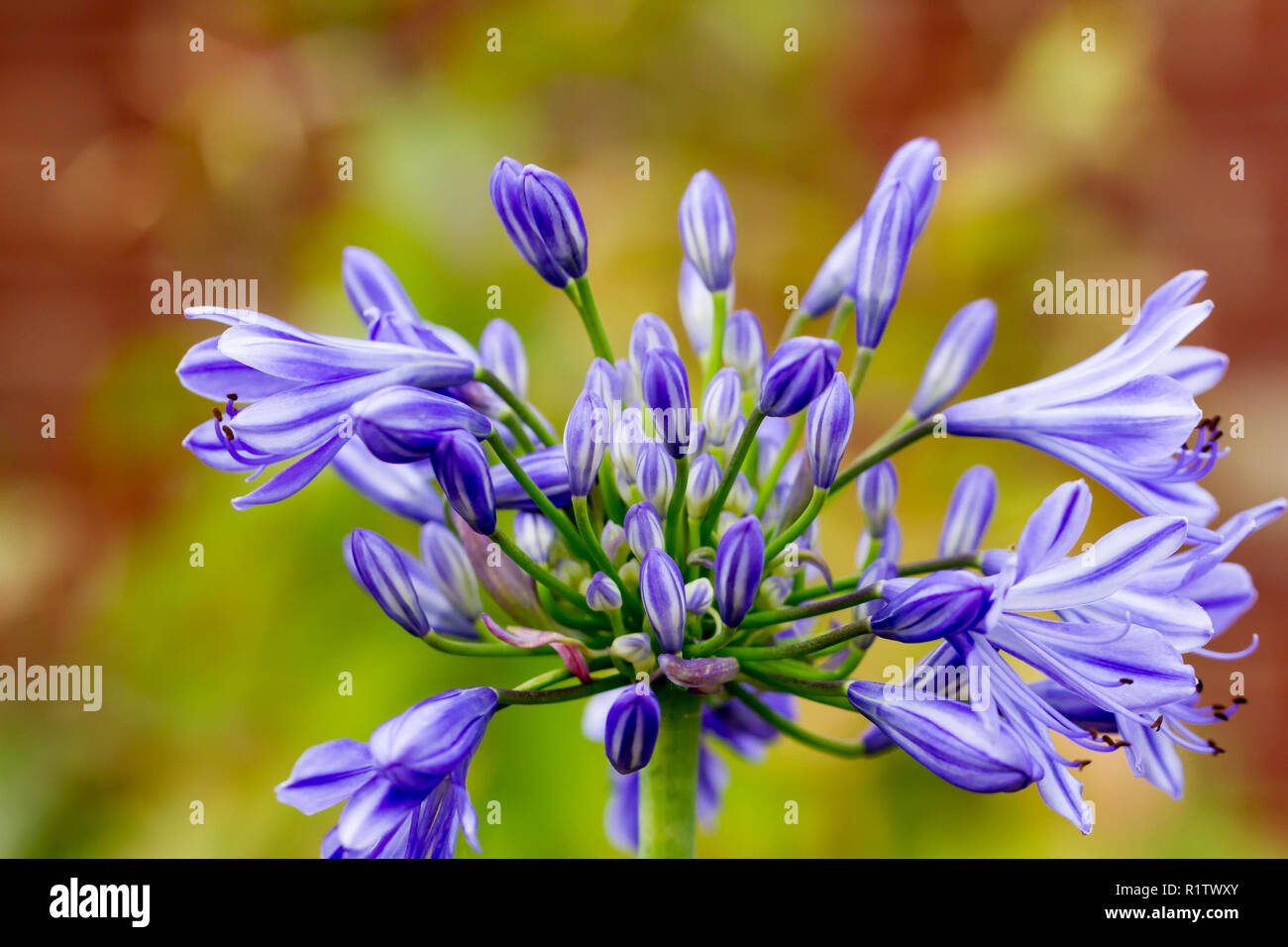 Agapanthus africanus, African lily blue, flowering in summer, UK Stock Photo