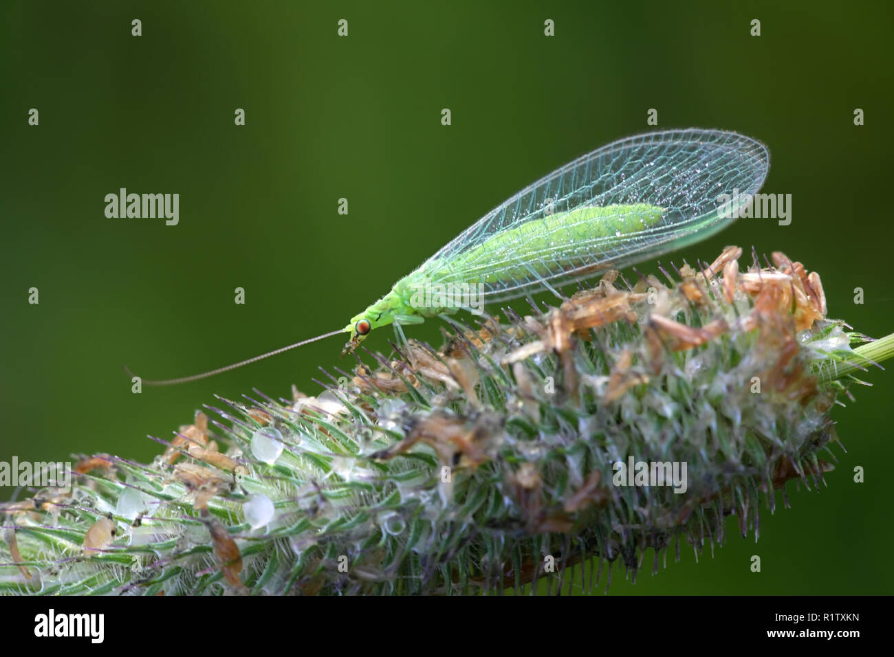 Common green lacewing, Chrysoperla carnea, beneficial predator of aphids - Stock Image
