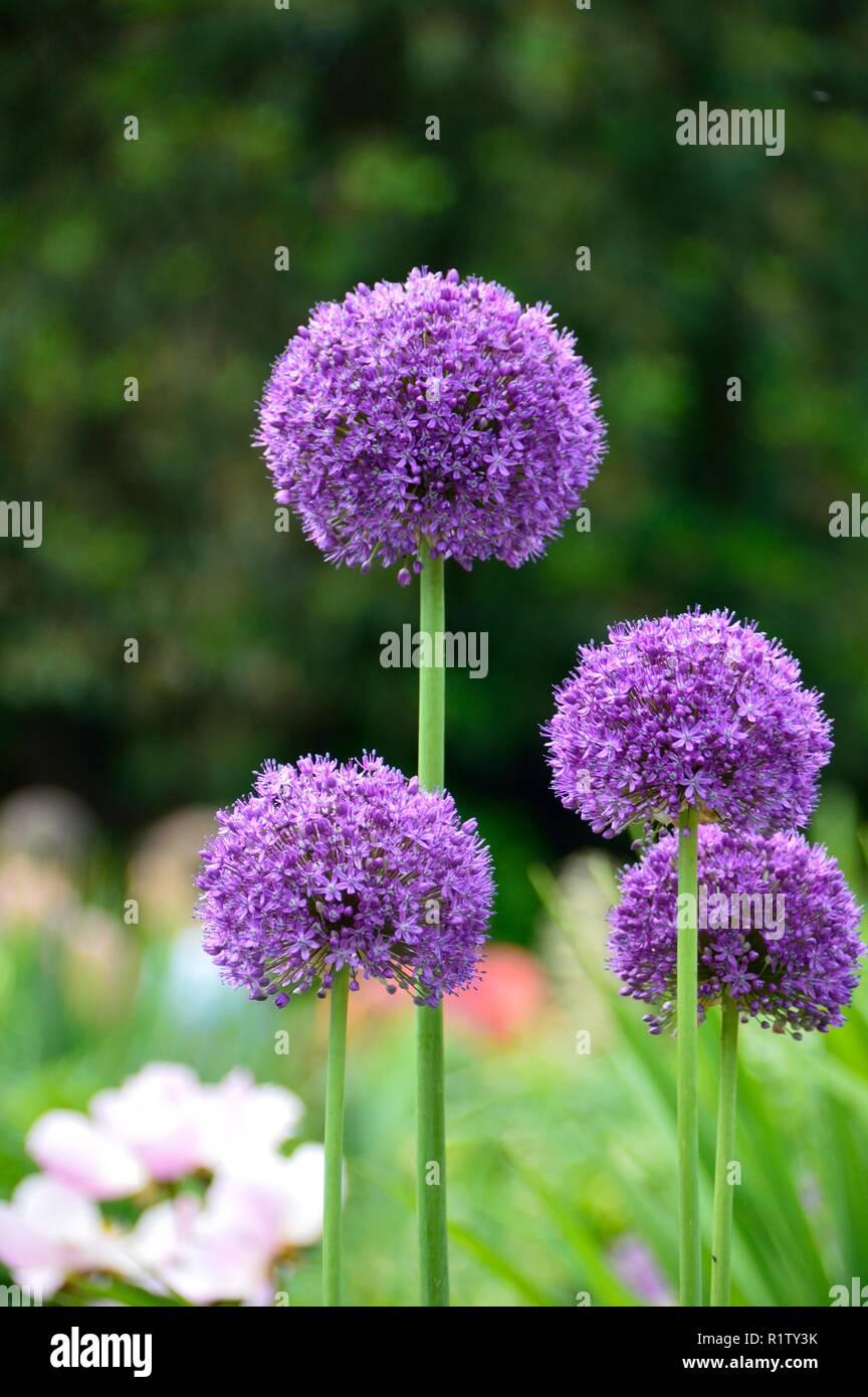 Close up of allium flowers in bloom in the garden - Stock Image