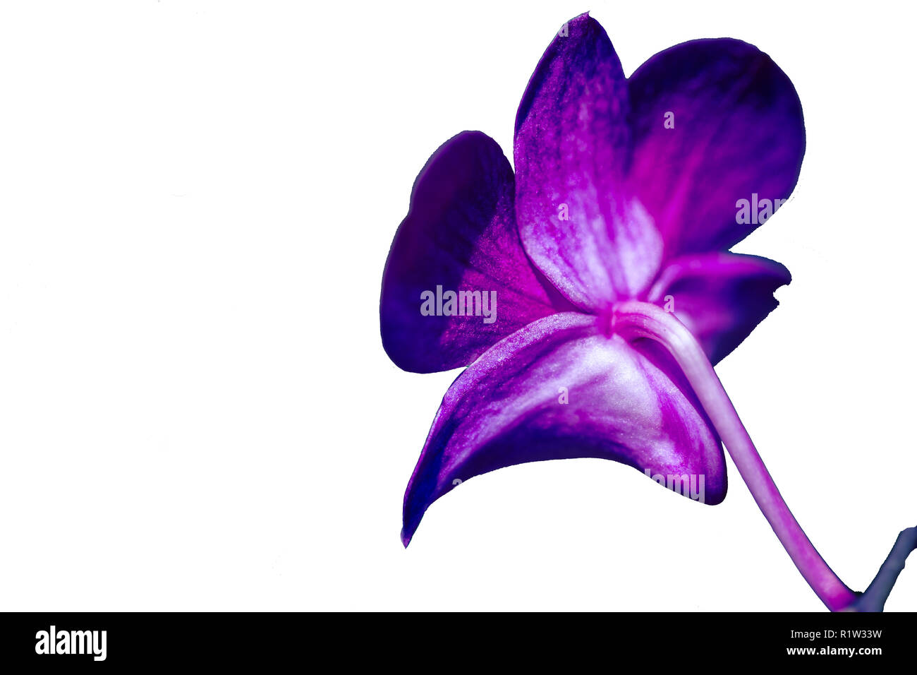 Delicate scarlet pink flower phalaenopsis orchid isolated on white background. - Stock Image
