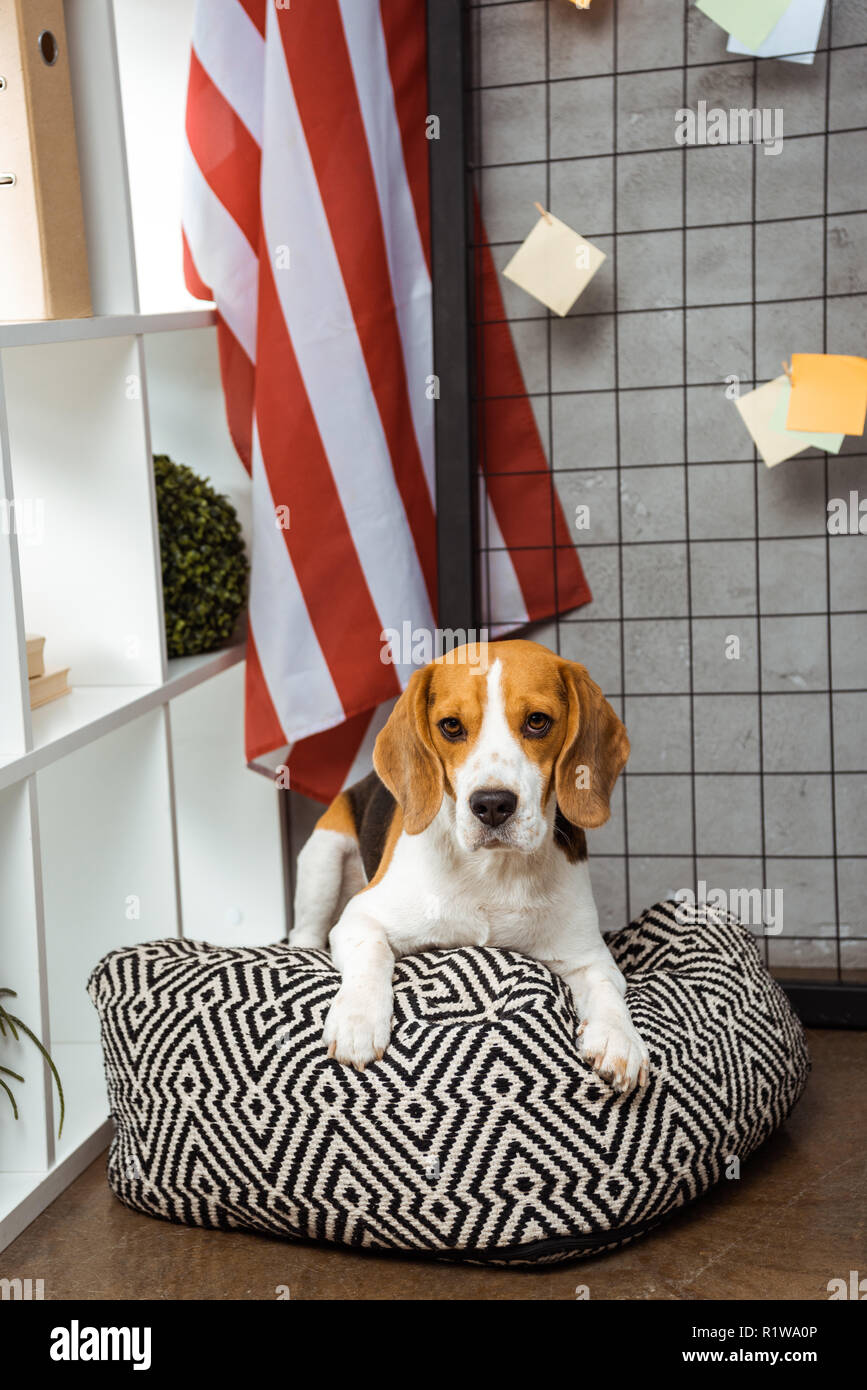 adorable beagle sitting on bean bag near american flag in modern office - Stock Image