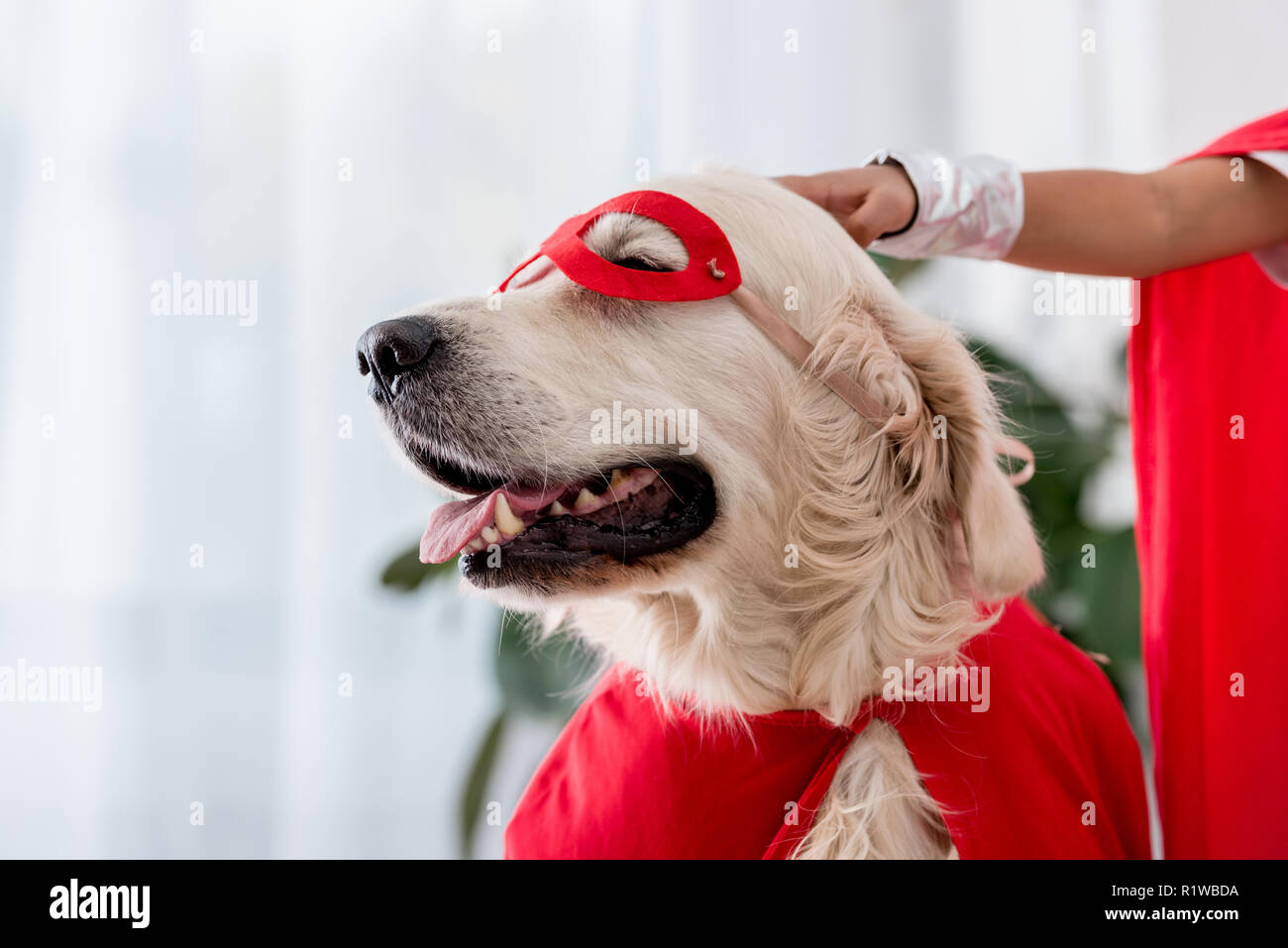 Partial view of hand petting golden retriever dog in red superhero mask - Stock Image
