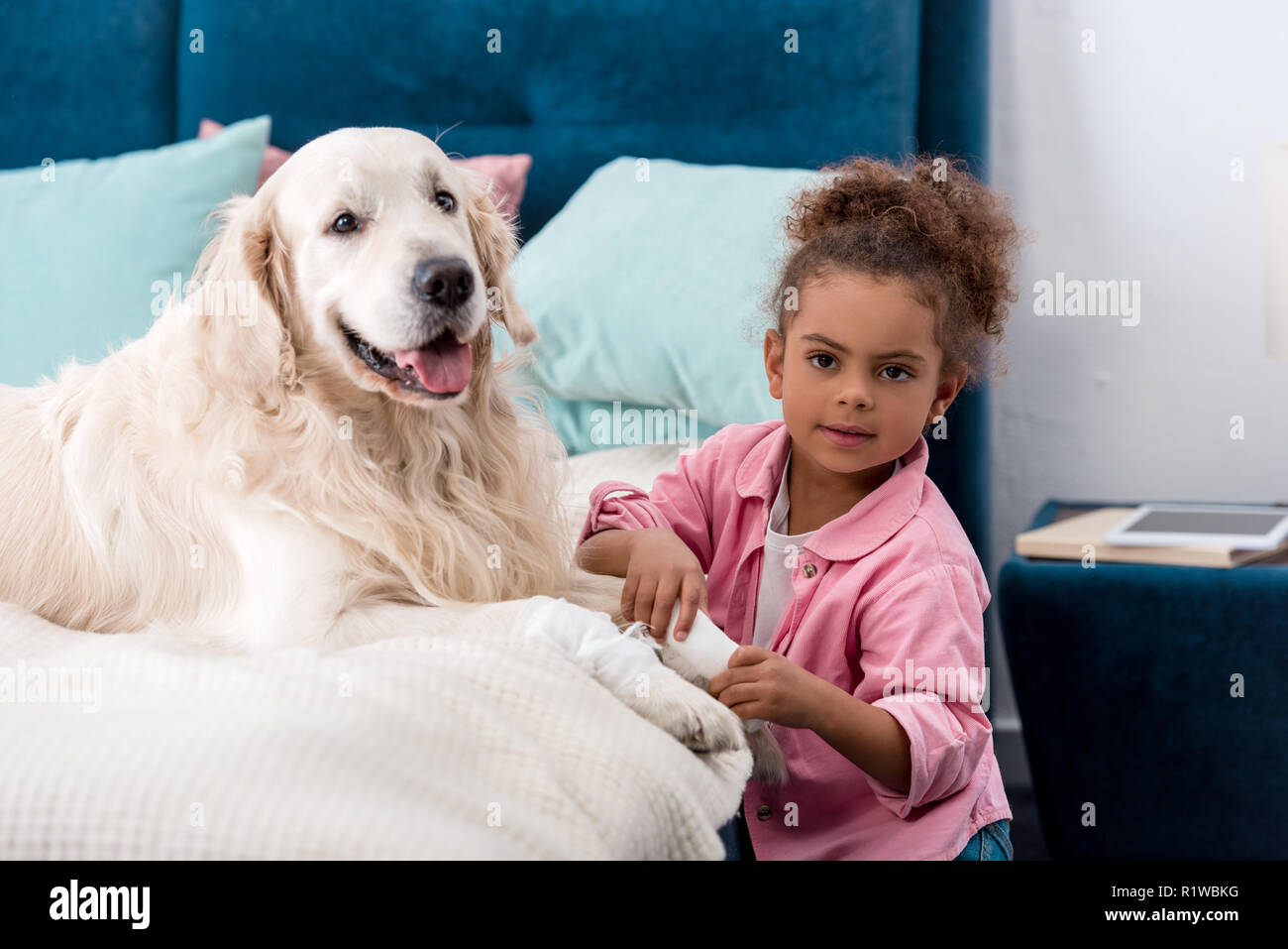 Curly african american child sitting near bandages paw retriever - Stock Image