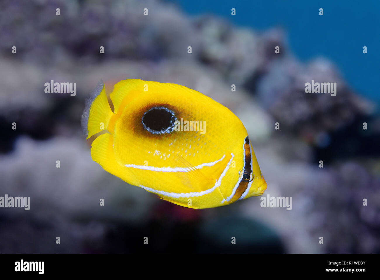 Mirror butterflyfish (Chaetodon speculum), swims in the claw reef, Indonesia, Sulawesi, Selayar, Flores Sea, Pacific, Indonesia - Stock Image