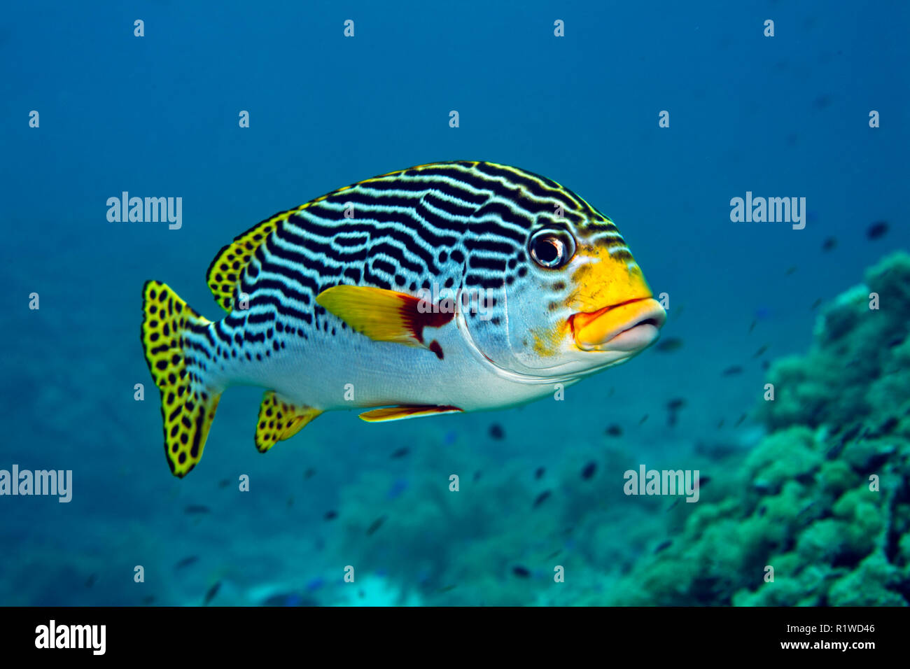 Diagonal-banded Sweetlip (Plectorhinchus lineatus), swims over coral reef, Sulawesi, Selayar, Pacific, Indonesia - Stock Image