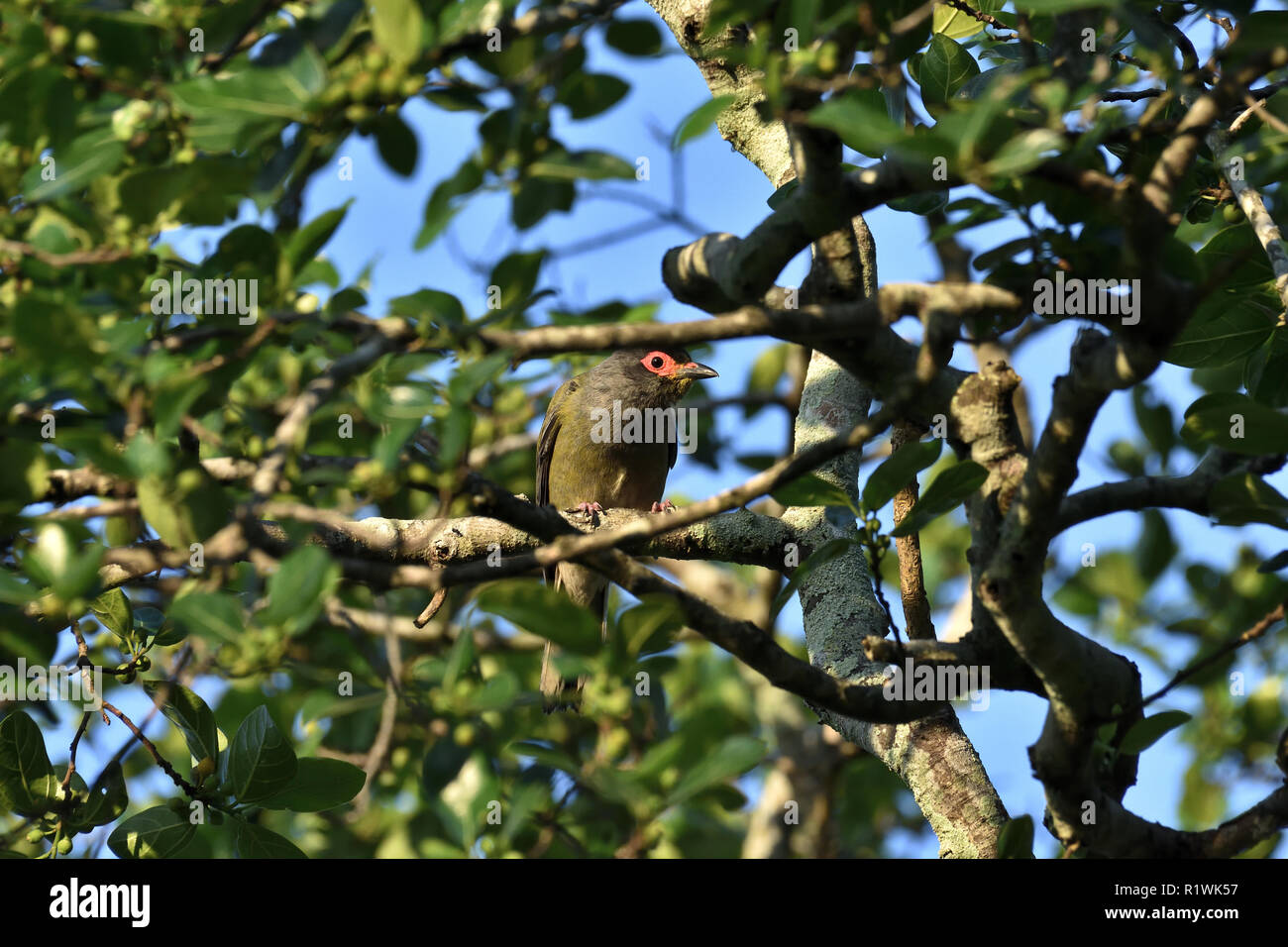 An Australian, Queensland Male Figbird ( Sphecotheres viridis ) peering through the branches Stock Photo