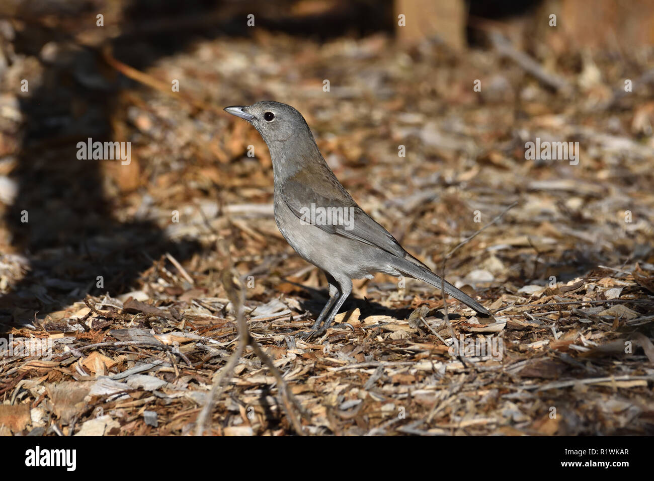 An Australian, Queensland Female Grey Shrike-thrush ( Colluricincla harmonica ) on the ground looking for food Stock Photo