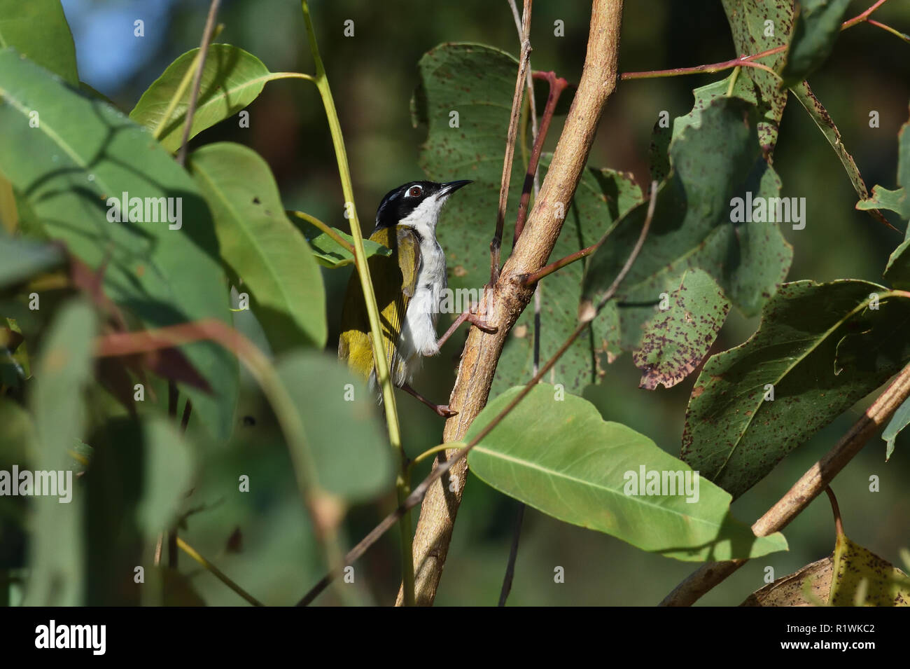 An Australian, Queensland White-naped Honeyeater ( Melithreptus lunatus ) ( Whitlocki race ) perched in thick bush looking for food - Stock Image