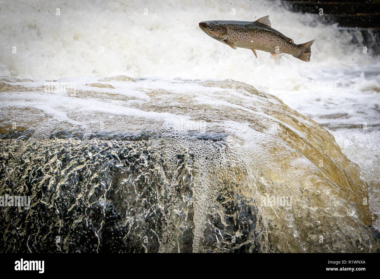 Leaping Sea Trout on its migration to the spawning beds upstream - Stock Image
