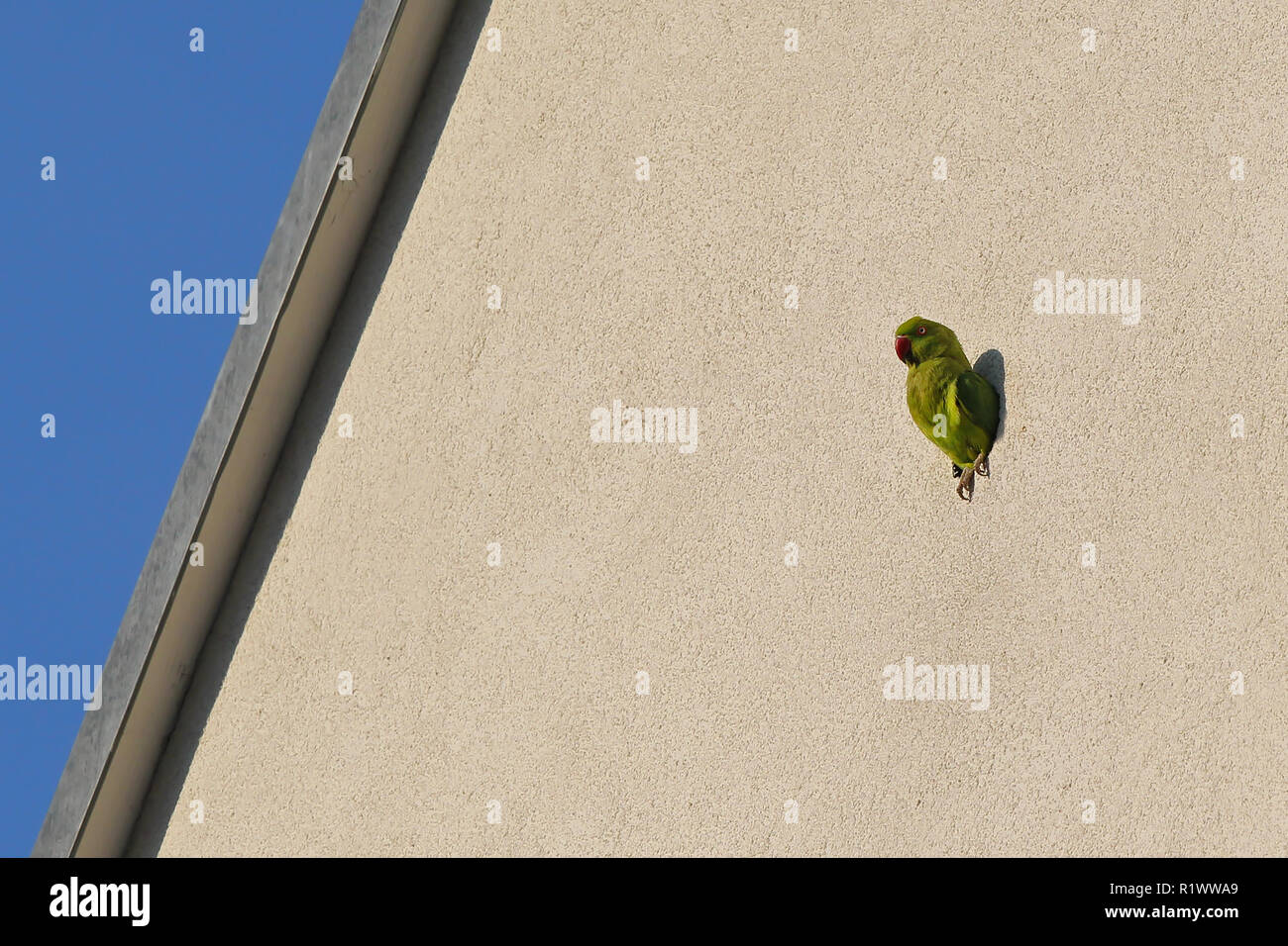 Rose-ringed Parakeet (Psittacula krameri) looking out of nest hole in house front, Heidelberg, Baden-Wuerttemberg, Germany - Stock Image