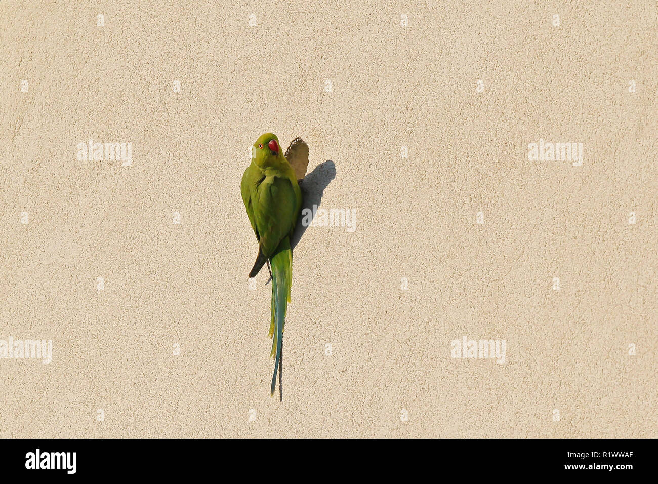 Rose-ringed Parakeet (Psittacula krameri) sitting in front of nest hole in house front, Heidelberg, Baden-Wuerttemberg, Germany - Stock Image