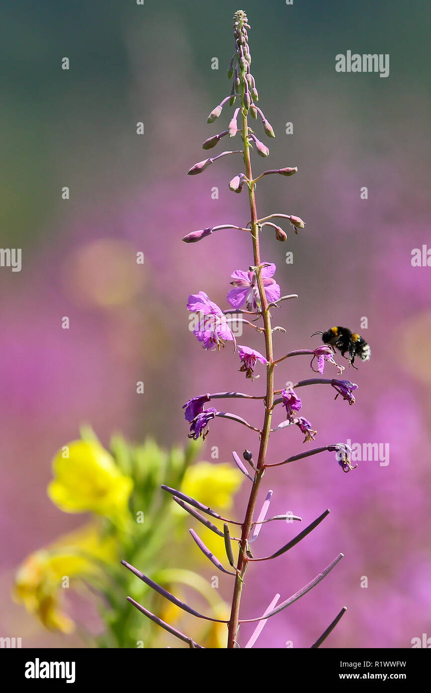 Buff-tailed bumble bee (Bombus terrestris) worker feeding on nectar from Fireweed (Epilobium) flower, Brandenburg, Germany - Stock Image
